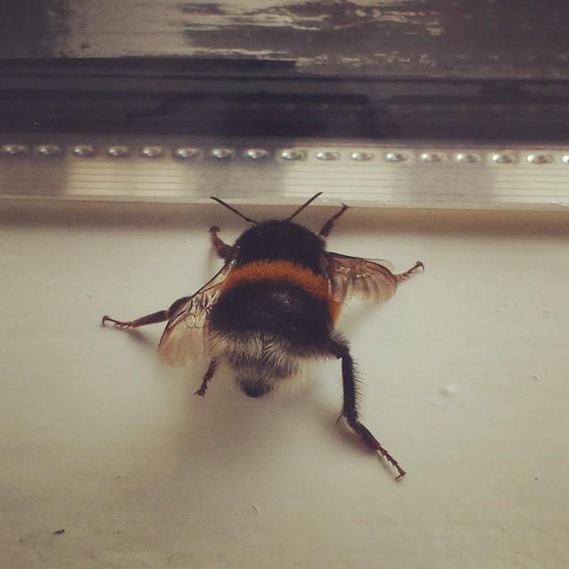 Huge Bumblebee
