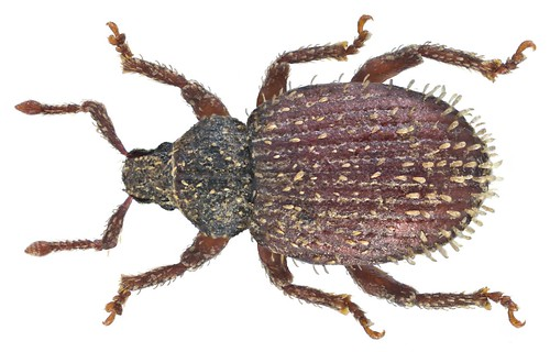 Cathormiocerus aristatus (Gyllenhal, 1827) Syn.: Trachyphloeus aristatus (Gyllenhal, 1827)   by urjsa