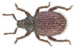Cathormiocerus aristatus (Gyllenhal, 1827) Syn.: Trachyphloeus aristatus (Gyllenhal, 1827)