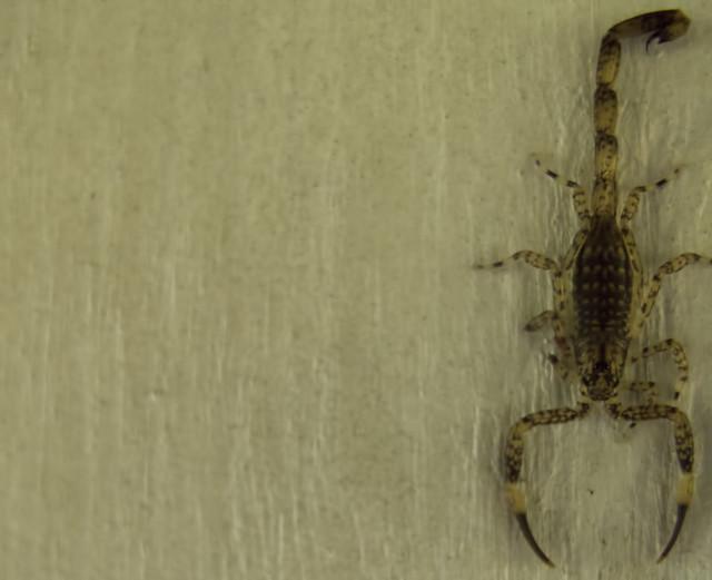 scorpion india