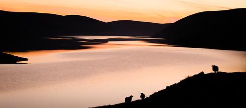 water sunrise sheep scottish loch blackie