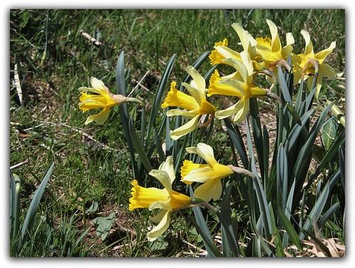 Autour du Mézenc en avril-mai 28285346672_5f22ea69cf