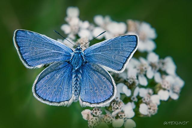 Mi, 2016-08-03 18:12 - Butterfly - Bläuling  Mehr: www.makro-treff.de