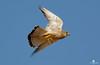 The breakfast. Lesser kestrel (Falco naumanni) - Cernícalo primilla (Falco naumanni) by Juan María Coy