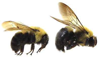 black and yellow bee with fuzzy abdomen on left  and black and yellow bee with shiny bottom on right