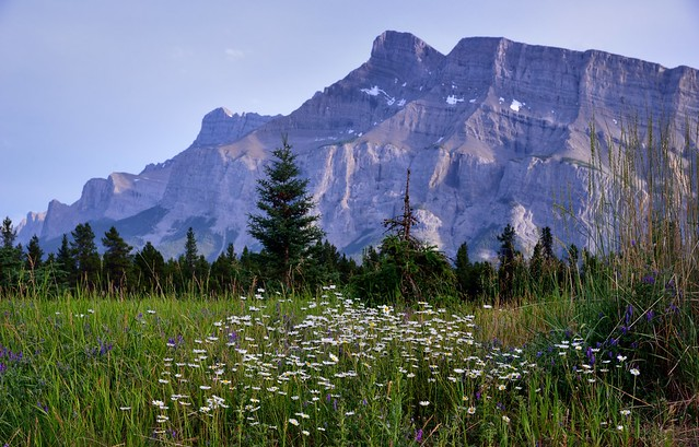 A Patch of Daisies and Mount Rundle (Banff National Park)