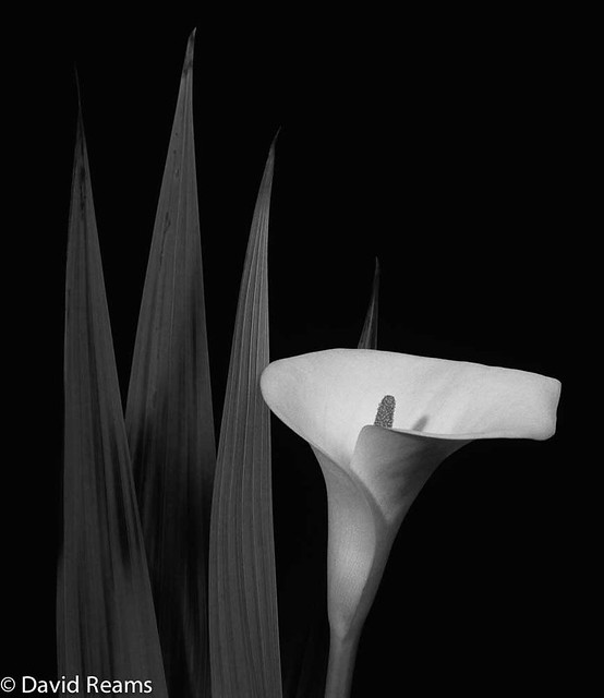 Lily and four leaves