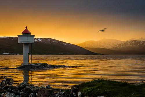 sea bird beach norway coast norge fugler hav tromsø fjæra midnattsol kyst fyrlykt hamna løkta