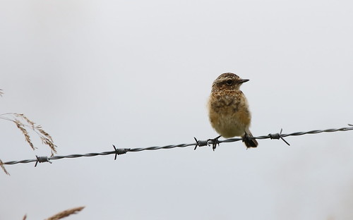 Juvenile Whinchat | by themadbirdlady