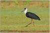 Woolly Necked Stork by Aravind Venkatraman