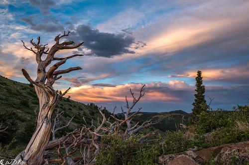 sunset grassytop limberpine pinusflexilis pineskeleton colorado