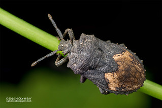 Bug (Dinidoridae) - DSC_0894