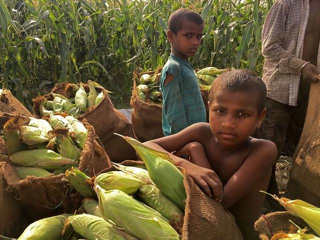 Children Stand Among Large Sacks of Sweet Corn