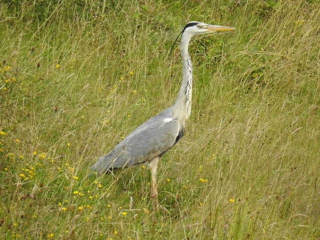 Grey Heron, Wey and Arun Canal, Loxwood, West Sussex.