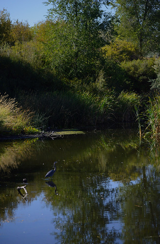 wetland heron blueheron jordanriver jordanriverparkwaytrail murray utah lebarodea bird waterway oxbow trees moss grass tallgrass saltlakevalley wood reflection