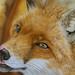Fuchs in Pastellkreide von Katja Sauer - Fox in soft pastels by Katja Sauer by Katja Sauer