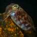 red cuttlefish by AlistairKiwi