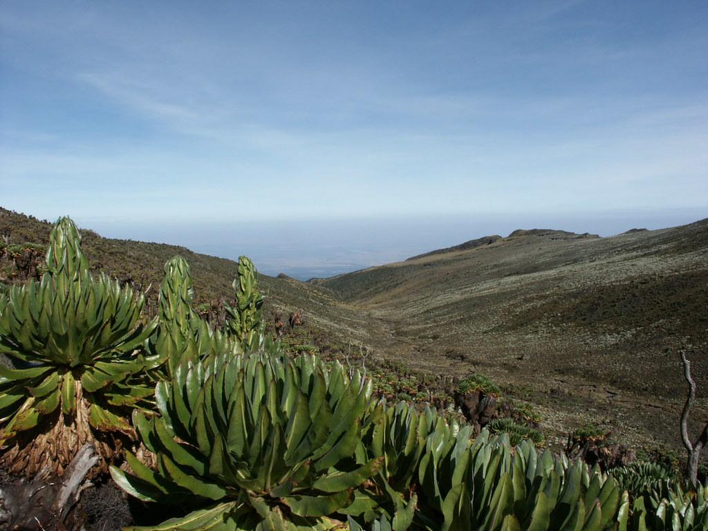 Giant groundsel in the Teleki Valley, Mt Kenya.
