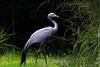 anthropoides paradiseus by tdwrsa