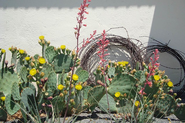 Cactus and barbed wire