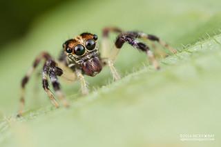 Jumping spider (Pancorius sp.) - DSC_8798