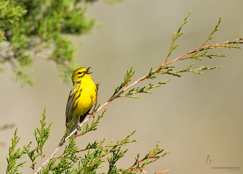 Prairie Warbler | by www.momentsinature.com