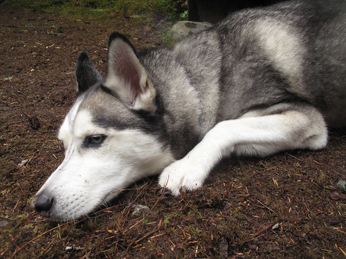 Canis lupus winstonii