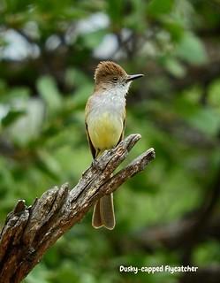 -Flycatcher-Dusky-capped-AZ-RamseyCnyn | by Tricolor Brian