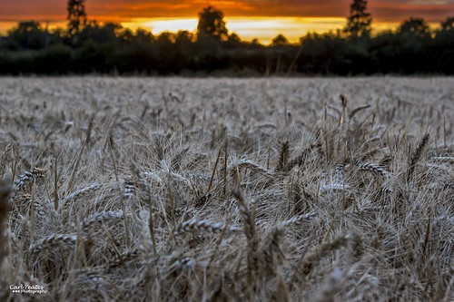 canon550d sunset wheat