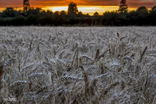 canon550d sunset wheat