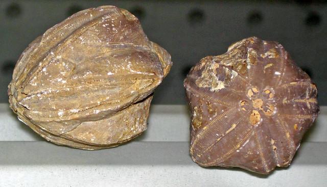 Pentremites sp. (fossil blastoids) (Mississippian; Big Hill, Kentucky, USA) 3