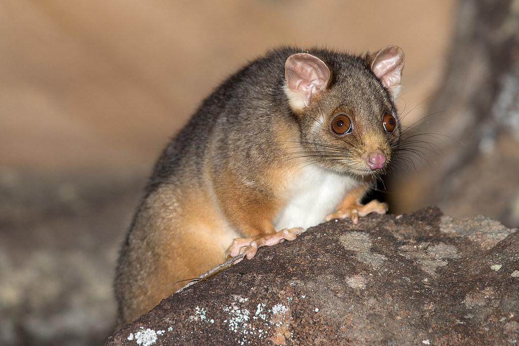Ring-tailed Possum 154 3681