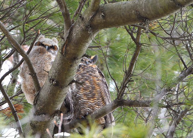 Great Horned Owl and Owlet 4