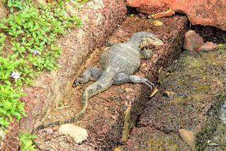 Komodo Dragon, Malacca