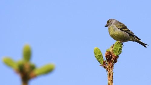 Carduelis citrinella ,Citril Finch