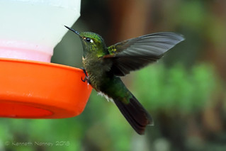 TYRIAN METALTAIL 1 | by k.nanney