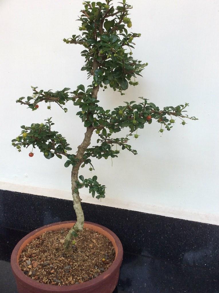 The Fukien tea tree (Carmona retusa) bearing fruits.Six years old -