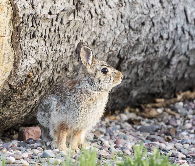 Eastern Cottontail Lookout