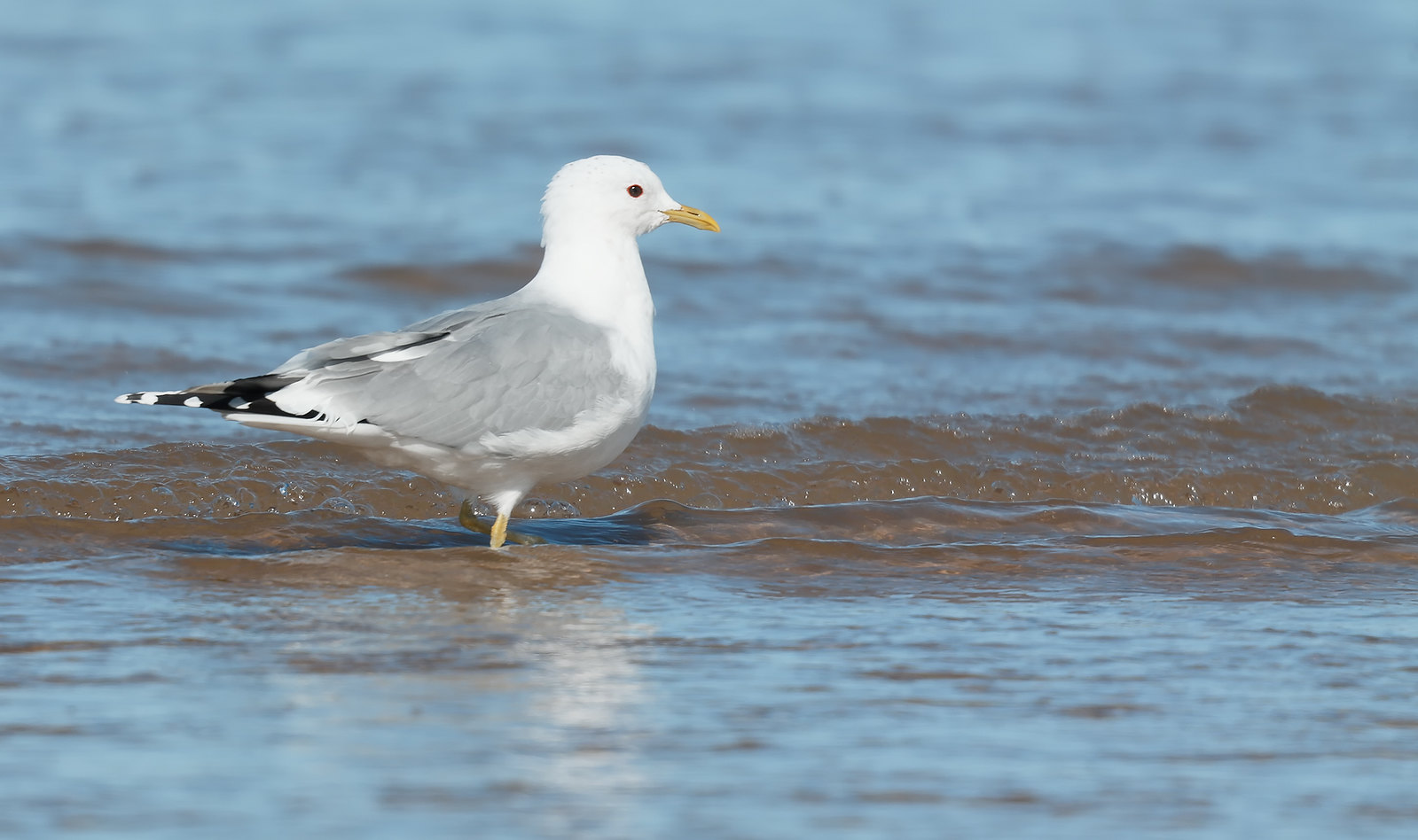 Common Gull - Norfolk
