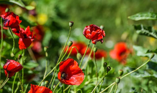 pleasanton poppy field