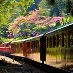 DAO-68852 嘉義縣,阿里山櫻花,阿里山,蒸汽火車,阿里山國家森林遊樂區,蒸汽老火車,阿里山森林鐵路小火車,國寶級蒸汽火車