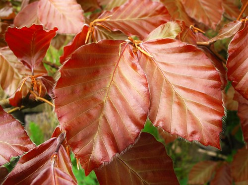 ireland irish colour macro tree nature beautiful leaves leaf spring cork foliage newmarket copperbeech canong11 2015onephotoeachday