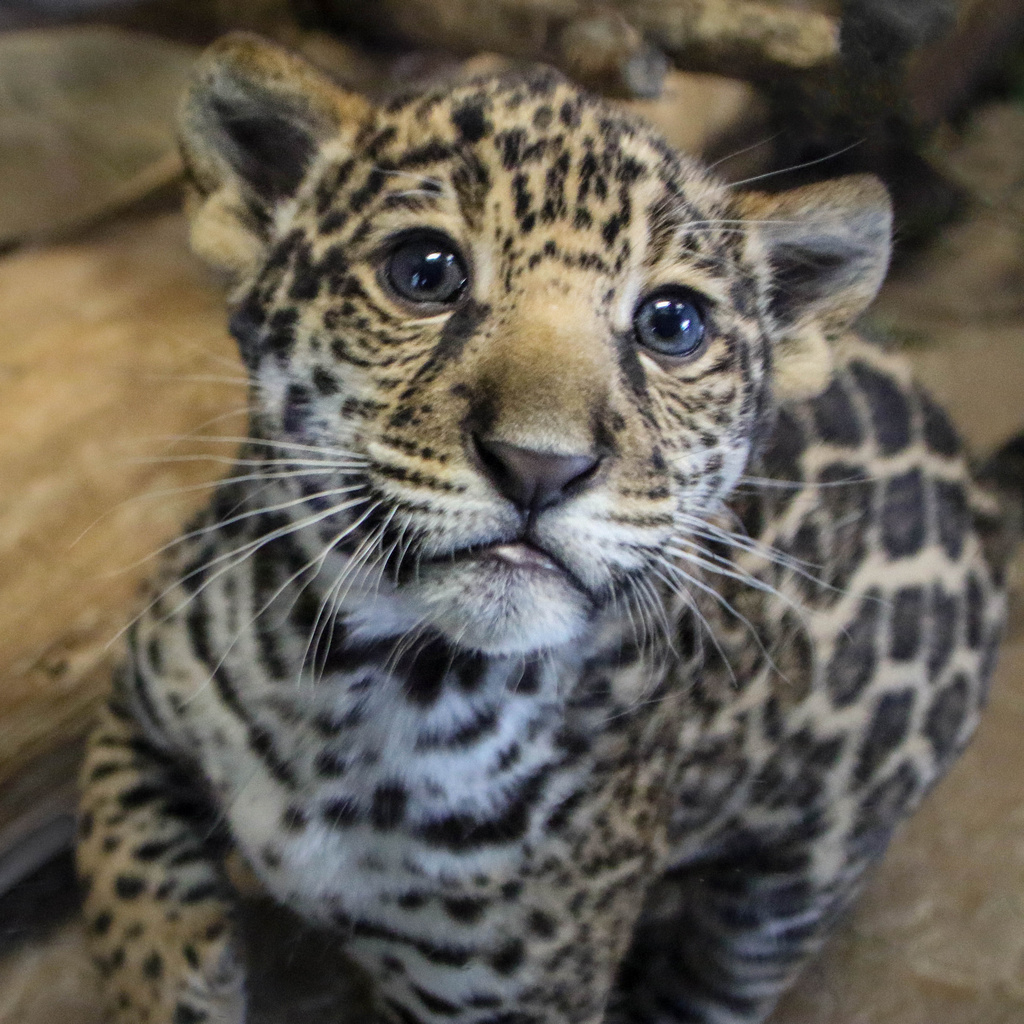 Jaguar Cub: Male Jaguar Cub Born March 12th, 2015