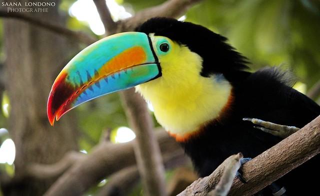 The Raibow Toucan