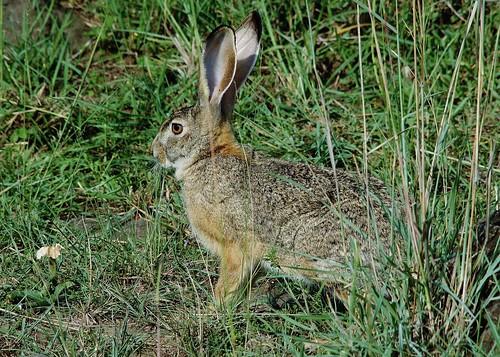 mammal hare ngc savannah masaimaranationalreserve lepus microtis specanimal kenya2015