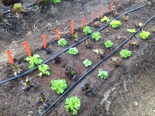 Succession planting for salanova lettuces | by adkfarmerdan