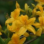 Azaleen in gelb