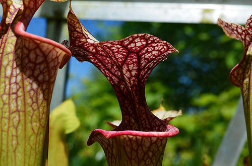Sarracenia cv Adrian Slack | by Garnivore