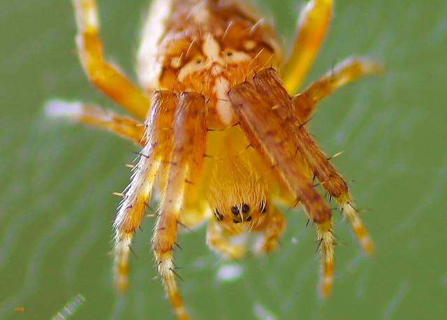 Petite araignée tête en bas. Little spider in my little garden !!