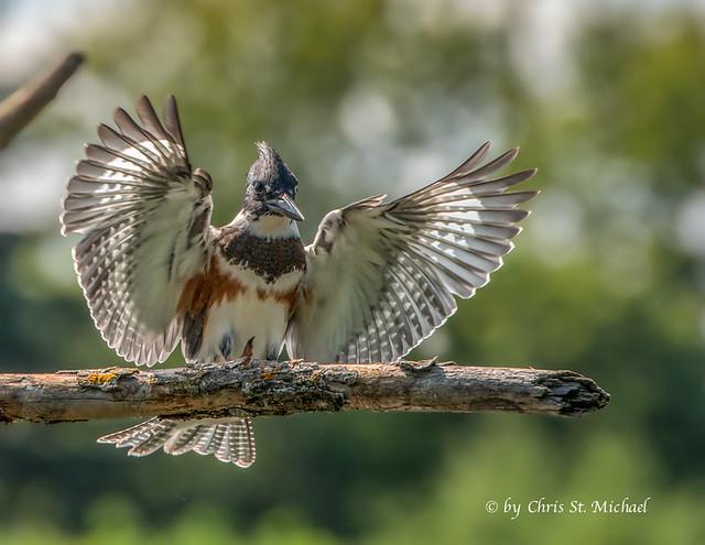 Female Kingfisher landing